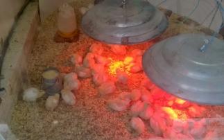 Foto 4: pollitos parrilleros en el cerco de cría.
